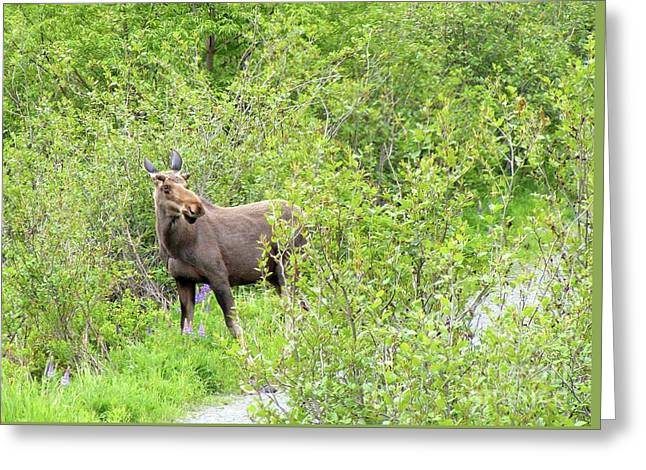 Eating Lupines Greeting Cards - Startled Young Moose Greeting Card by Barbara Griffin