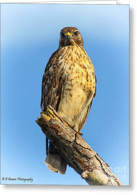 Birdwatching. B A Bowen Photography Greeting Cards - Stately Red-shouldered Hawk Greeting Card by Barbara Bowen