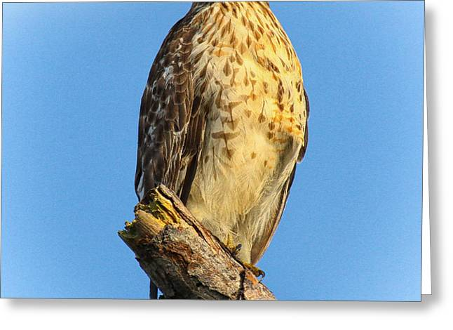 Stately Red-shouldered Hawk Greeting Card by Barbara Bowen