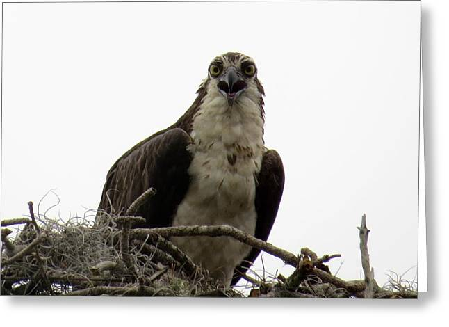 Osprey Photographs Greeting Cards - Stay away from my nest Greeting Card by Zina Stromberg