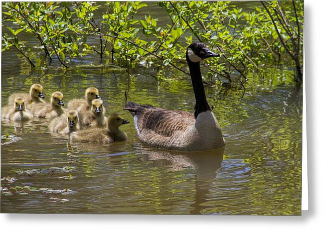 Water Fowl Greeting Cards - Stay Close To Momma Greeting Card by Kathy Clark