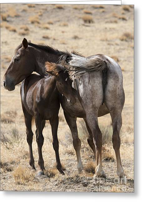 Wild Horses Greeting Cards - Staying Close Greeting Card by Mike Dawson