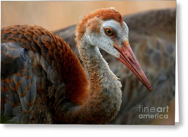 Sandhill Cranes Greeting Cards - Staying Close to Mom Greeting Card by Carol Groenen