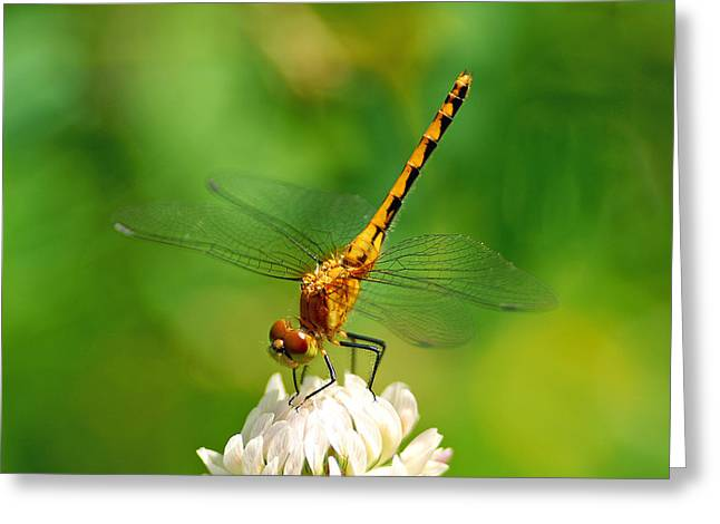 Meadowhawk Greeting Cards - Staying Cool Greeting Card by Bill Morgenstern