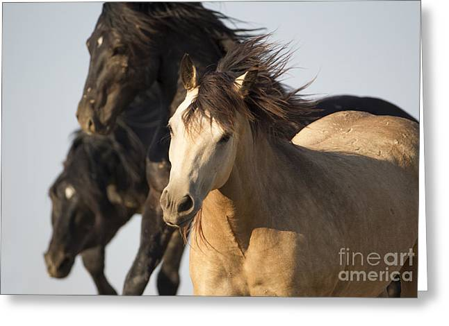 Buckskin Horse Greeting Cards - Stealing the Mare Greeting Card by Carol Walker