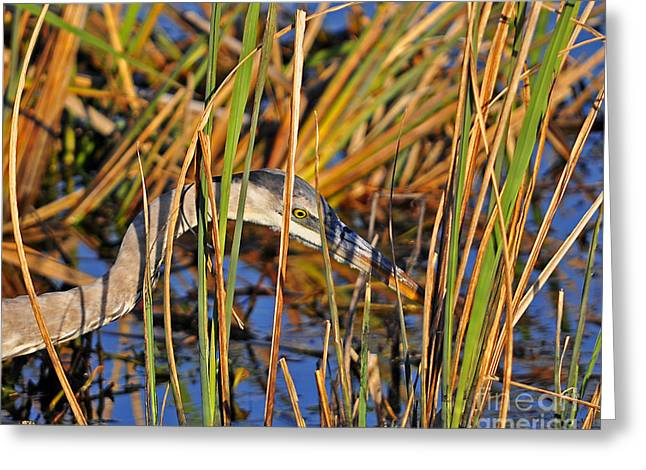 Grey Heron Greeting Cards - Stealthy Stalker Greeting Card by Al Powell Photography USA