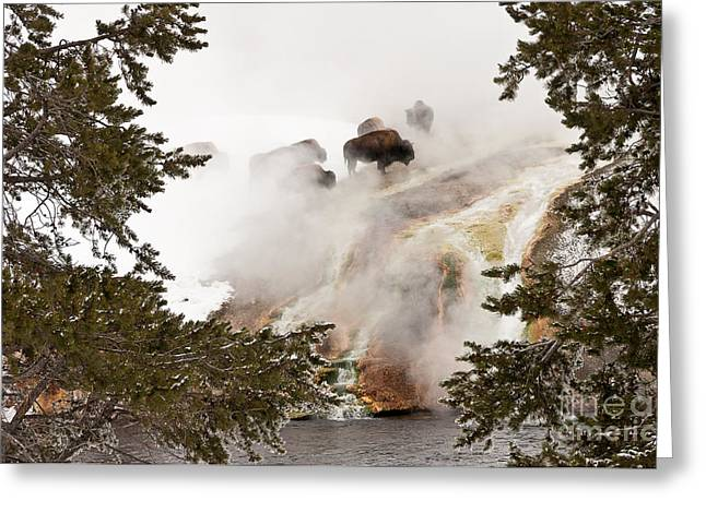 Sue Smith Greeting Cards - Steamy Bison Greeting Card by Sue Smith