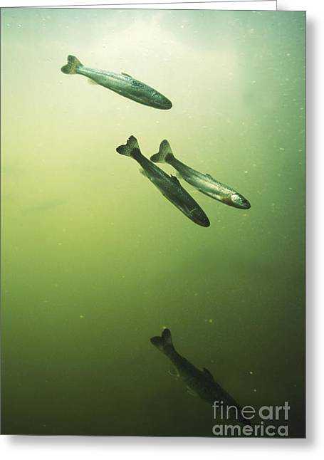 Rainbow Trout Greeting Cards - Steelhead Smolts Greeting Card by William H. Mullins