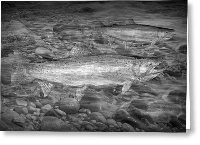 Trout Photograph Greeting Cards - Steelhead Trout Migration Greeting Card by Randall Nyhof