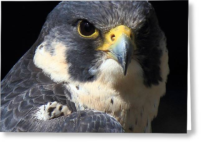 Peregrine Falcon Greeting Cards - Steely Stare Greeting Card by Randy Hall