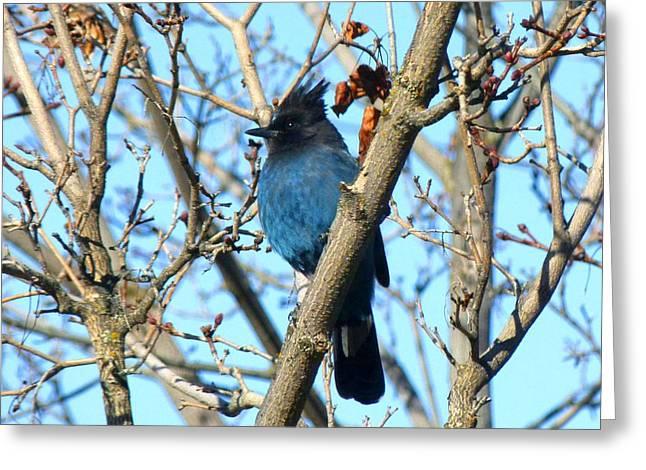 Stellar Jay Greeting Cards - Stellar Jay In Winter Greeting Card by Will Borden