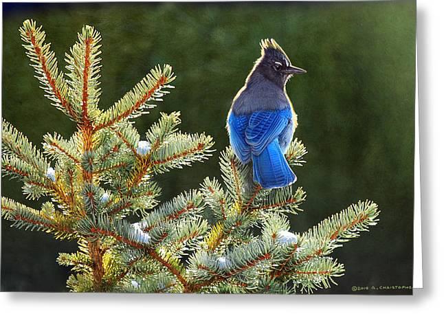 Stellar Jay Greeting Cards - Stellar Jay On Spruce Greeting Card by R christopher Vest
