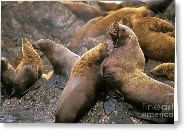 Sea Lions Greeting Cards - Stellar Sea Lion Colony Greeting Card by Ron Sanford