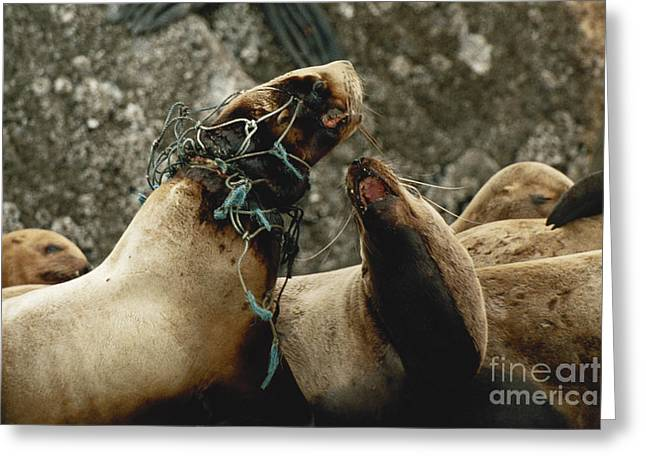 Choking Greeting Cards - Stellar Sea Lion Tangled In Fishnet Greeting Card by Ron Sanford