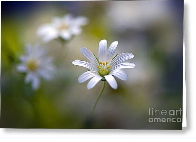 Close Focus Floral Greeting Cards - Stellaria holostea Greeting Card by Jacky Parker
