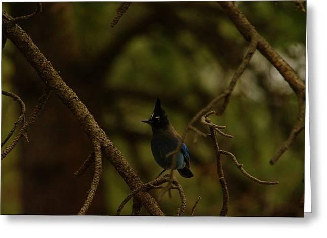 Southwestern Birds Greeting Cards - Steller Jay Greeting Card by Jeff  Swan