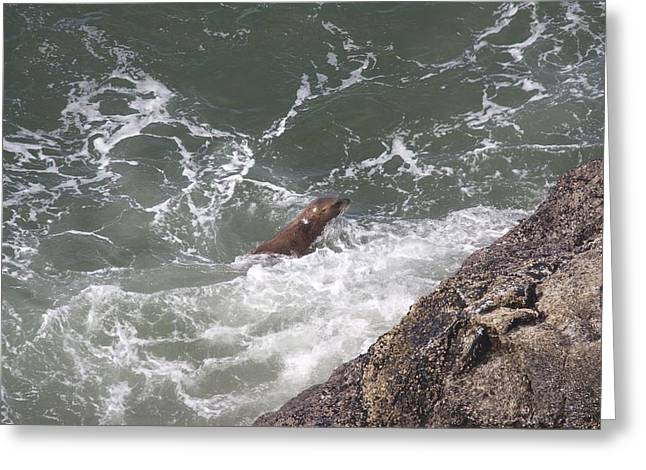 Sea Lions In The Ocean Greeting Cards - Steller Sea Lion - 0016 Greeting Card by S and S Photo