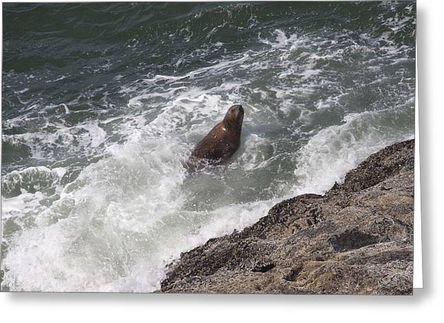 S And S Photo Greeting Cards - Steller Sea Lion - 0018 Greeting Card by S and S Photo