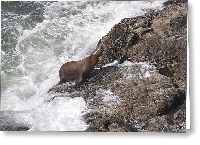 Sea Lions In The Ocean Greeting Cards - Steller Sea Lion - 0024 Greeting Card by S and S Photo