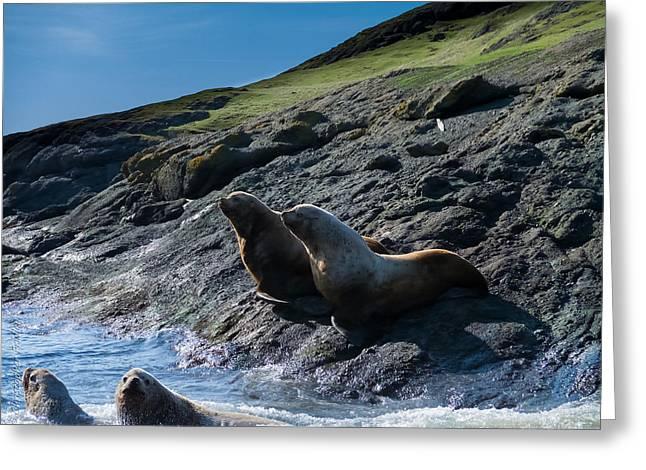 Sea Lions Greeting Cards - Steller Sea Lions Greeting Card by Christopher Fridley