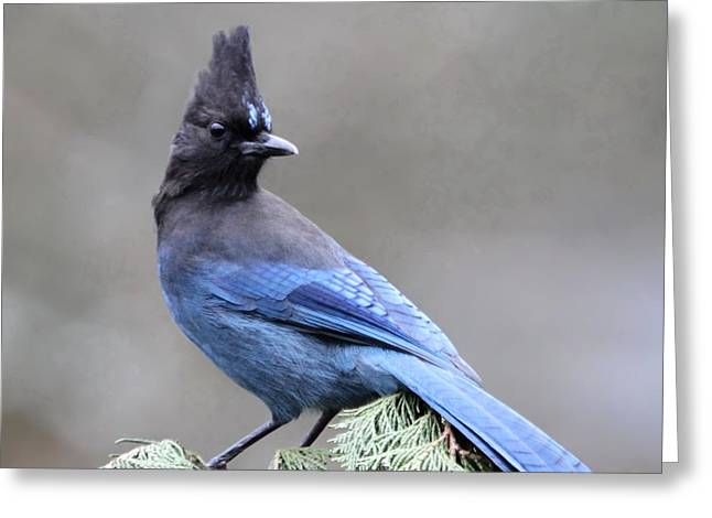 Jays Greeting Cards - Stellers Jay Greeting Card by Angie Vogel