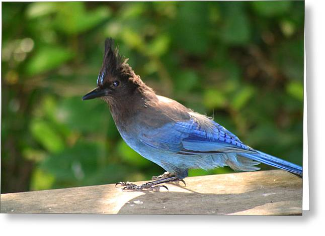 Jaybird Greeting Cards - Stellers Jay Sunbathing Greeting Card by Kym Backland