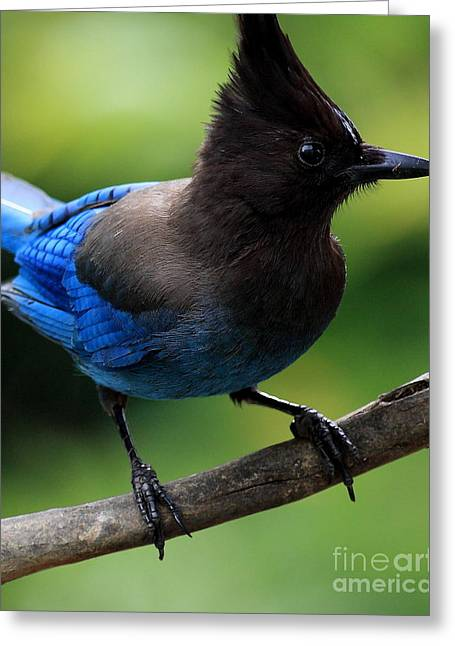 Stellar Jay Greeting Cards - Stellers Jay Greeting Card by Wingsdomain Art and Photography