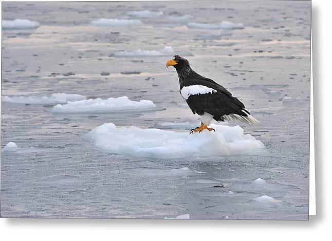 Stellers Sea Eagle On Ice Floe Hokkaido Greeting Card by Thomas Marent