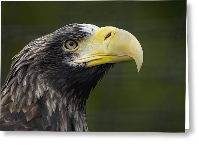 Photos Of Birds Greeting Cards - Stellers Sea Eagle Profile Greeting Card by Zssd
