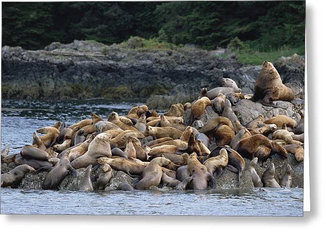 Sea Lions Greeting Cards - Stellers Sea Lions West Brother Island Greeting Card by Konrad Wothe