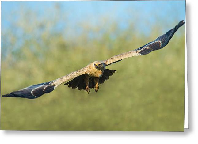 Flying Animal Greeting Cards - Steppe Eagle Aquila Nipalensis Greeting Card by Panoramic Images