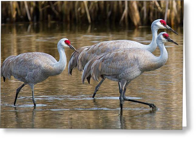 Migratory Bird Greeting Cards - Steppin Out Greeting Card by Randy Hall