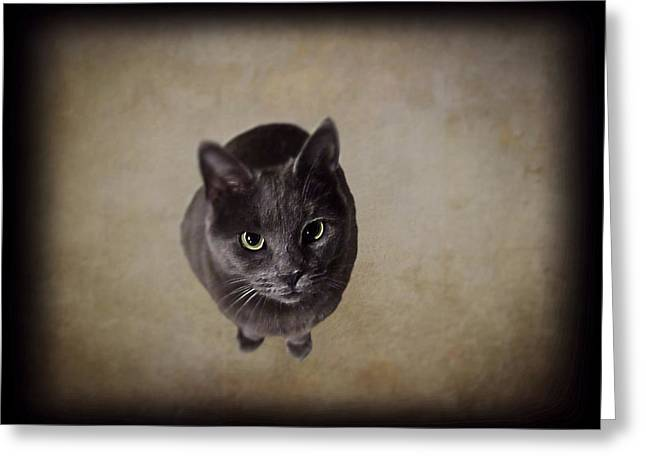 House Cat Greeting Cards - Sterling the Cat Greeting Card by David Dehner