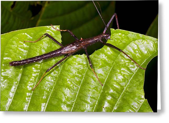 Eating Entomology Greeting Cards - Stick insect feeding on a leaf Greeting Card by Science Photo Library