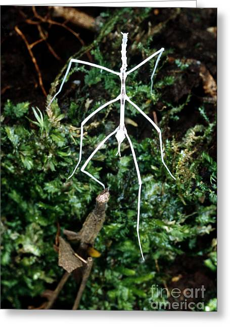 Forest Floor Greeting Cards - Stick Insect Phasmid Greeting Card by Gregory G. Dimijian, M.D.