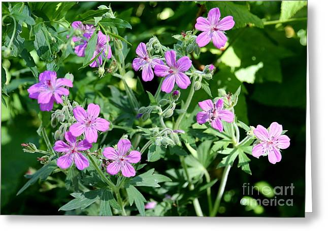 Purple Geranium Greeting Cards - Sticky Geraniums in Glacier National Park Greeting Card by Carol Groenen