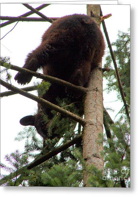 Black Bear Climbing Tree Greeting Cards - Still Hanging On Greeting Card by Nick Gustafson