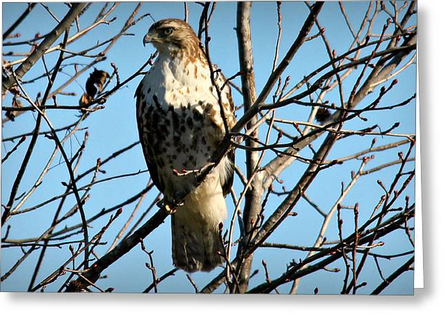Hunting Bird Photographs Greeting Cards - Still Hunt Greeting Card by Reid Callaway