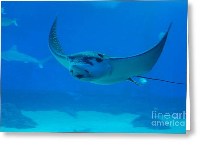 Snorkel Greeting Cards - Stingray Flying Through The Water Greeting Card by DejaVu Designs