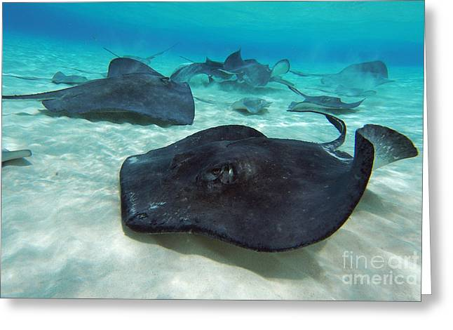 Sand Bar Greeting Cards - Stingrays Greeting Card by Jimmy Nelson