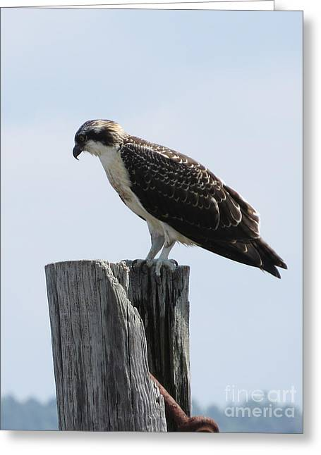 Stockton Greeting Cards - Stockton Osprey Greeting Card by Victoria  Dauphinee
