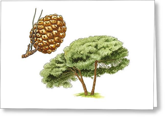 Umbrella Pine Greeting Cards - Stone pine (Pinus pinea) tree, artwork Greeting Card by Science Photo Library