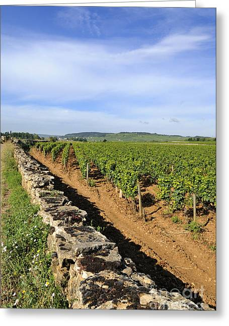 Grapevine Photographs Greeting Cards - Stone wall. vineyard. Cote de Beaune. Burgundy. France. Europe Greeting Card by Bernard Jaubert