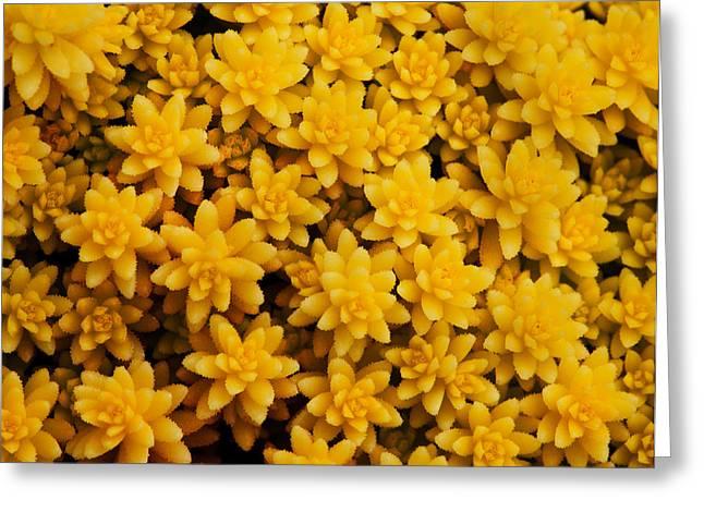 Santa Cruz Art Greeting Cards - Stonecrop Orange Succulent Greeting Card by Sammy Miller