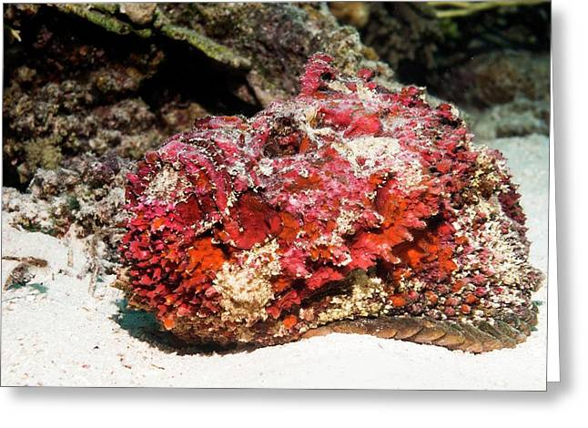 Stonefish After Shedding Cuticle Greeting Card by Georgette Douwma