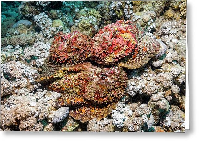 Stonefish Mating Congregation Greeting Card by Georgette Douwma