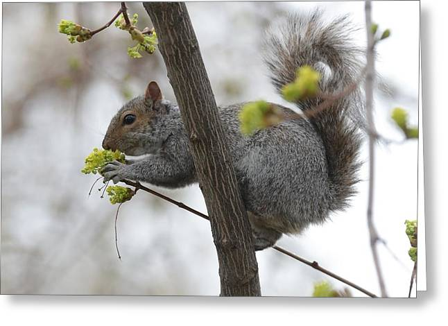 Tree Squirrel Greeting Cards - Stop and Smell the Blossoms Greeting Card by Carol Groenen