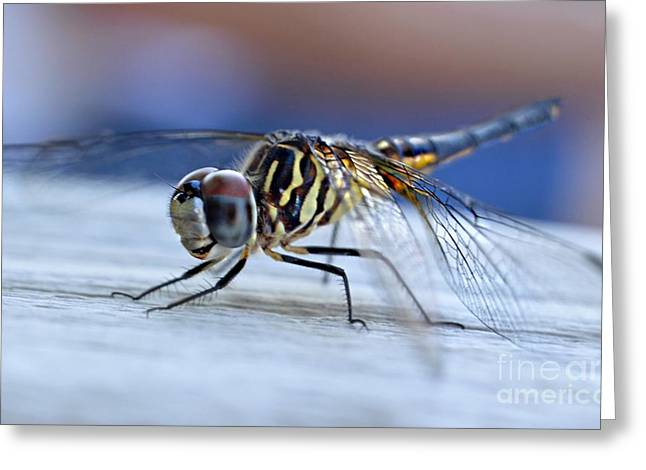 Macro Dragonfly Picture Greeting Cards - Stop By Tiger Dragon fly Greeting Card by Peggy  Franz