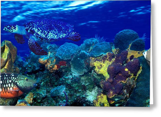 Hawksbill Turtle Greeting Cards - Stoplight Parrotfish Sparisoma Viride Greeting Card by Panoramic Images