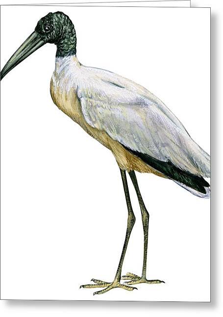 Americana Drawings Greeting Cards - Stork Greeting Card by Anonymous